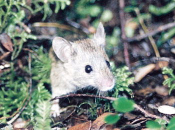 A wild mouse of Asian stock